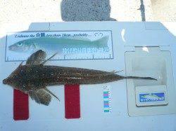 佐野 投げ釣りでキス 24.5cmの良型で満足釣果