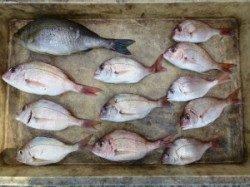 沖一文字内向き、カゴ釣りでイサキやチャリコの釣果