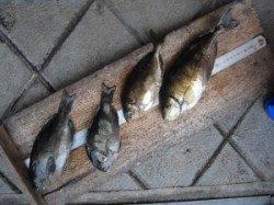 キハチ磯、フカセ釣りでアイゴ・グレの釣果