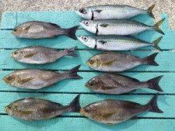 沖一文字外向き、カゴ釣りでイサキ・ゴマサバを計10匹♪