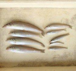 岡津 投げ釣りでキス〜25.8cm8匹