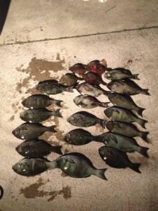出雲崎の磯 半夜釣りのグレ尾長まじりで大漁です☆
