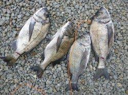 湯浅の磯での紀州釣り釣果 42cm頭に4枚