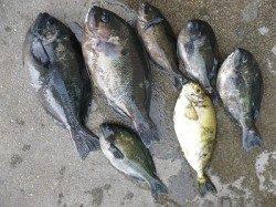 湯川の磯 紀州釣りでアイゴ大漁★