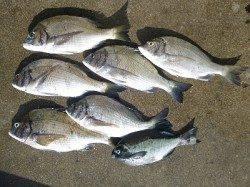 紀州釣りでチヌ・グレ釣れいます!
