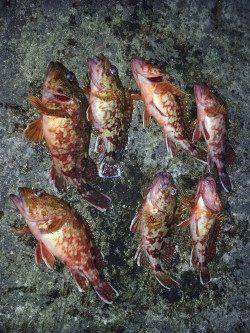 ズボ釣りでガシラ、キープサイズは7匹でした