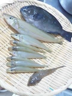 鯉川 投げ釣り&ウキ釣りでキス・グレの釣果