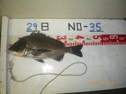 姫路市立遊漁センターでチヌ39cm!