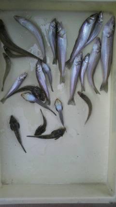 岸和田一文字 キス〜22cmの釣果も