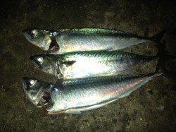アジュール舞子 ウキ釣りでサバ〜38cm3匹 エサはサンマの切り身がオススメ