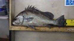 堺漁港 夜のカゴ釣りでコショウダイ40cm
