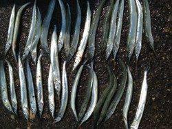 兵庫突堤で飛ばしウキ釣り、サヨリ32匹の釣果☆