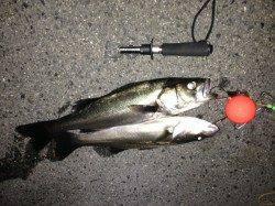 南港でイソメを使ってウキ釣り、ほどよく当たりアリ