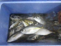 白浜見草の堤防にてサビキ、魚種多様に釣れました!