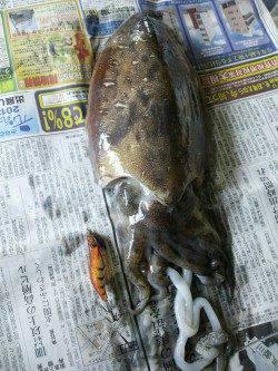 姫路市立遊魚センター エギングでコウイカ740gがヒット