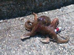 本荘人工島、真昼の蛸釣り釣行