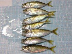 小アジを求めて新浜漁港へ…サビキ釣果