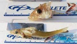 大磯 投げ釣りでキス最大23cmを34匹!