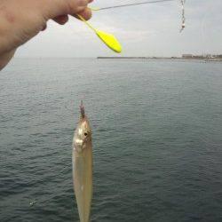新浜漁港でちょい投げ、キスの釣果