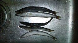 谷川漁港 5cmミノーでカマス〜30cm5匹 アジングは豆アジのバイトのみ