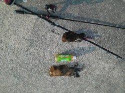 上野漁港 朝マズメから10時迄のエギングでアオリイカ1パイ
