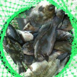 貝塚で流し釣り、グレの釣果☆