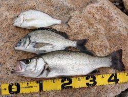 日置川河口 フカセでヒラセイゴ・チヌ・ヘダイの釣果♪