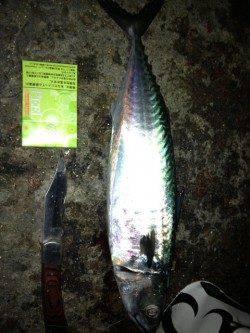 明石港 ウキ釣りで大サバ2匹! エサはサンマの切り身