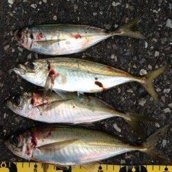 田辺・戎漁港 アタリが少ない中、アジングでアジ〜26cm4匹