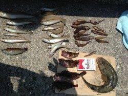 マリーナシティ釣り公園、投げるたびに釣れる爆釣状況でした