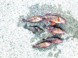 泉佐野 サビキで豆アジ入れ食い 胴突きでガシラの釣果