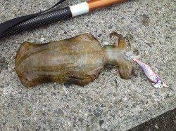 深日漁港、エギングでアオリGET、投サビキは入れ食い♪