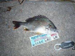 舞洲 チニングでキビレ〜33cm 釣り大会参加の釣果
