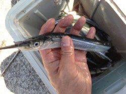 サヨリ釣り日本一!芦屋浜で釣れています!