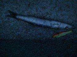【マリーナシティ】 カマス釣果釣れてきました