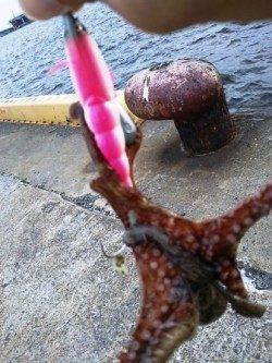 南港でも釣れていますよ~タコ!
