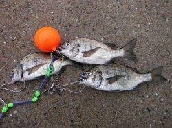 【サビキ釣り大盛況♪】南芦屋浜
