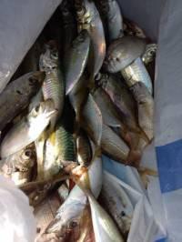 マリーナシティ海釣り公園 サビキのアジの他、チョイ投げでキスも