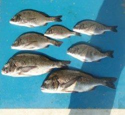青井イカダで年無し含むチヌ7匹の釣果