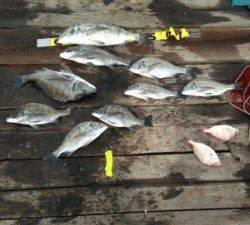 青井イカダ チヌ〜50cm9匹の釣果