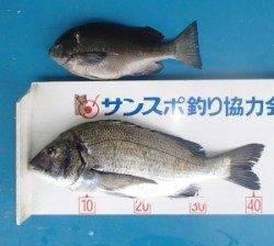 丹生防波堤でチヌ43cmとグレ29.6cm