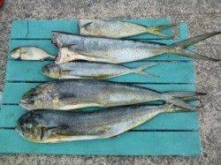 ルアー&飲ませ釣りで82cmまでのシイラを5匹GET!