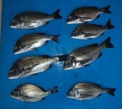 大丹生イカダでチヌ39.7cmを頭に8匹、エサはサナギとコーン