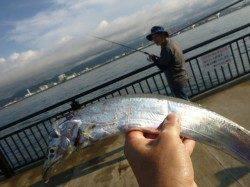 神戸空港 タチウオ釣れてます