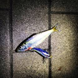大阪南港でのルアー釣り釣果