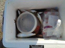 南芦屋のベランダにて、サビキ釣りの釣果☆