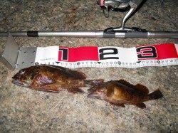 貝塚人工島へ夕方からのエビ撒き釣り釣果
