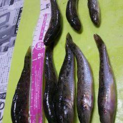 泉佐野 夕方からの釣行で、渋いながらもちょい投げでハゼがヒット
