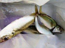 サビキ・ハゲ釣りが面白い★食コンリアル