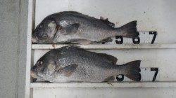 日置川で紀州釣り、コロダイ64cm